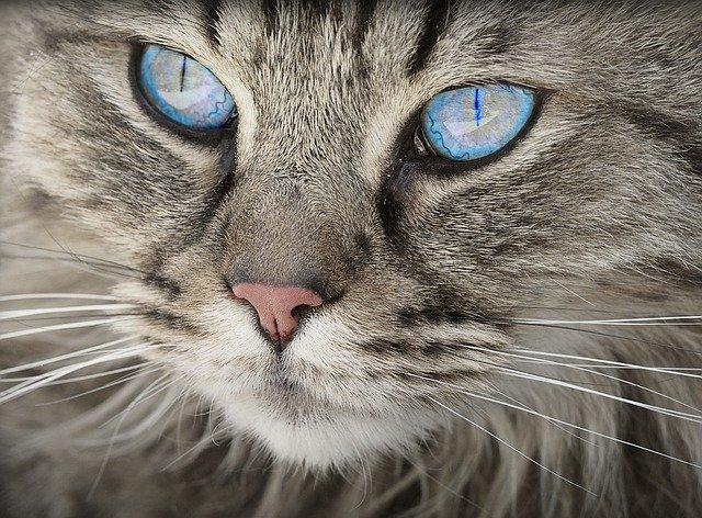 Wajib Tahu, Ini Makanan yang Tepat untuk Kucing Siam