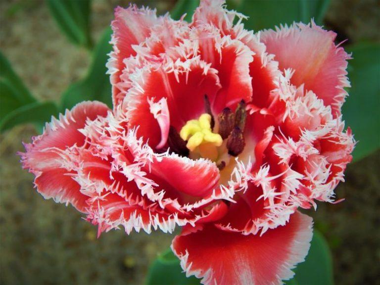 Hal Menarik tentang Nama dan Arti Bunga Anyelir