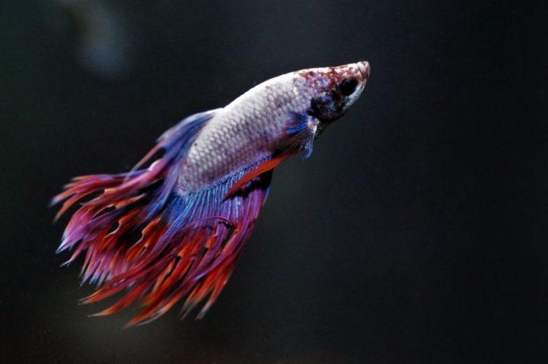 Cara Pemijahan dan Budidaya Ikan Cupang di Rumah